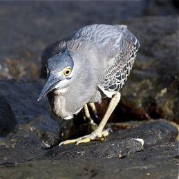 Little Heron feeding on sea slaters