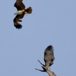 Aerial battle: Brahminy Kite vs Changeable Hawk Eagle