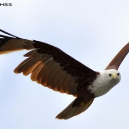 Brahminy Kite in fright moult