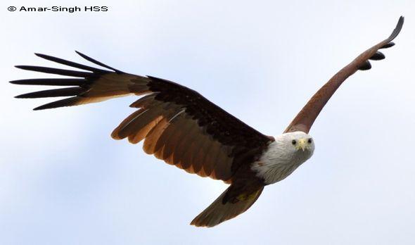 Brahminy Kite in fright moult