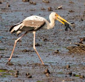 Milky Stork fighting for the fish