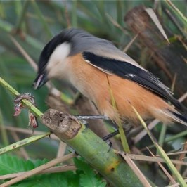 Long-tailed Shrike impales lizard