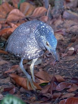 Malayan Night Heron stalking earthworms