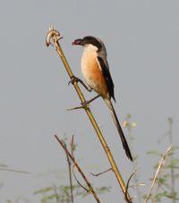 Long-tailed Shrike eating impaled skink