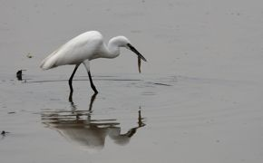 Little Egret swallowing a prawn