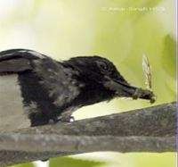 Oriental Magpie Robin takes a termite alate