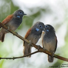 Blue throat patches of the Chestnut-winged babbler