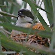 Long-tailed Shrike's cross bill