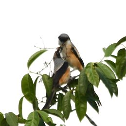 Long-tailed Shrike preying on a bird