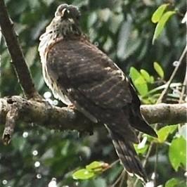 Subadult Large Hawk Cuckoo*