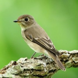 Appearance of Dark-sided and Asian Brown Flycatchers