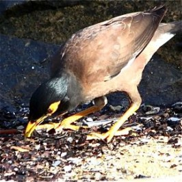 Common Myna with deformed bill