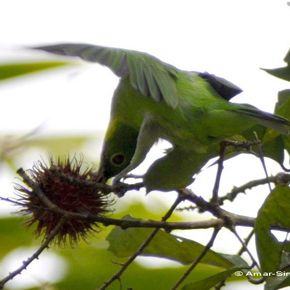Hanging parrot, leafbird and spiderhunter eating rambutan