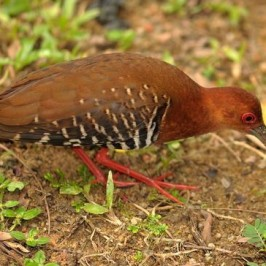Red-legged Crake and earthworms