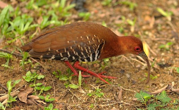 Figure 12. Picture depicting a Red-legged Crake feeding on an earthworm.Photo by KC Tsang © (Permission Pending)