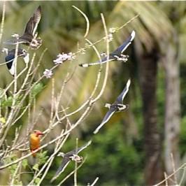 Cotton Pygmy-goose breeding in Peninsular Malaysia?