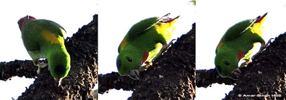 Blue-crowned Hanging Parrot feeding on lichen/fungus?