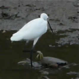 Little Egret foraging in shallow water