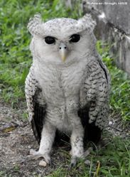 A juvenile Barred Eagle Owl named Prince
