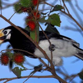 How many Oriental Pied Hornbills can Singapore support?