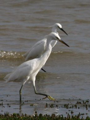 Encounter with Chinese and Little Egrets
