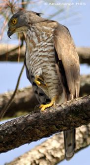 Crested Goshawk chasing Lineated Barbet