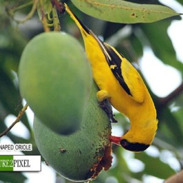 Black-naped Oriole eating mango