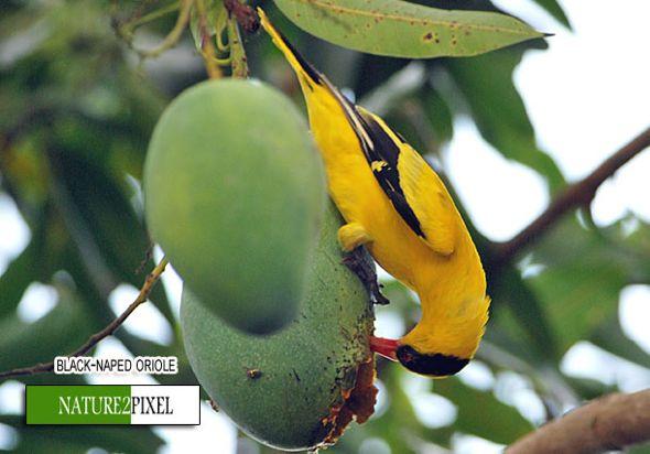 Black Naped Oriole Eating Mango Bird Ecology Study Group