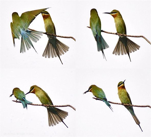 Feeding behaviour of the Blue-tailed Bee-eater