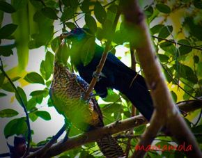 Courtship feeding in Asian Koel