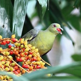 Pink-necked Green Pigeon swallows MacArthur palm fruits