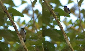 White-browed Shrike Babbler 'hopping' backwards
