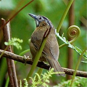 Observations on the Streaked Wren Babbler