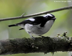Little Pied Flycatcher's call
