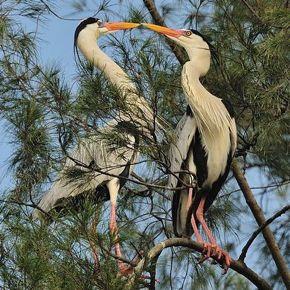Grey Heron in courtship mode