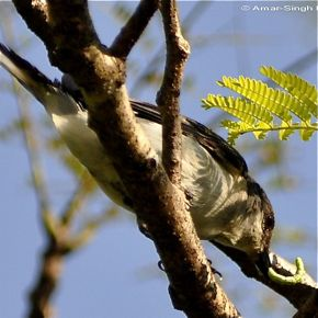 Immature Ashy Minivet in a mixed species foraging flock
