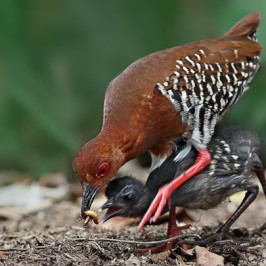 Red-legged Crake chick learns to forage