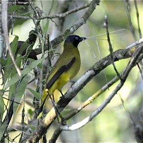 Black-headed Bulbul collecting nesting material