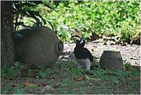 Oriental Pied Hornbill nesting in earthern pot