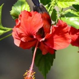 Crimson Sunbird harvesting nectar from hibiscus