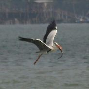 Grey Heron in confrontation
