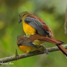 Orange-breasted Trogon mating