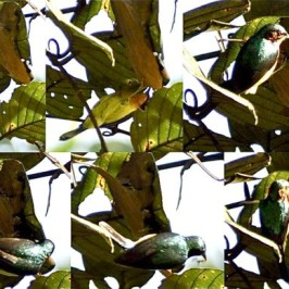 Ruby-cheeked Sunbird foraging