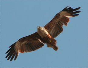 Brahminy Kite with worn out feathers