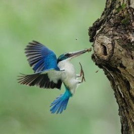 Collared Kingfisher feeding chick