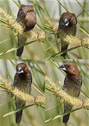 Scaly-breasted Munia eats elephant grass seeds