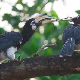 Oriental Pied Hornbill in courtship mode