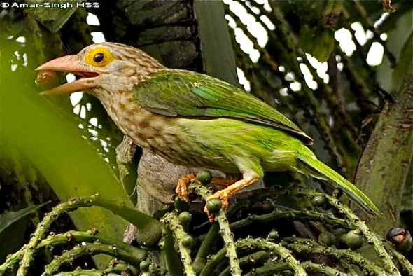 Lineated Barbet feeding on fishtail palm fruits