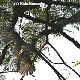 Indian Grey Hornbill bill grappling and aerial jousting