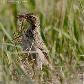 Nesting behaviour of the Paddyfield Pipit
